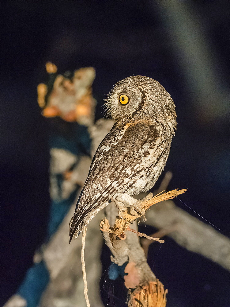 An adult southern white-faced Scops-Owl, Ptilopsis granti, at night in the Okavango Delta, Botswana.