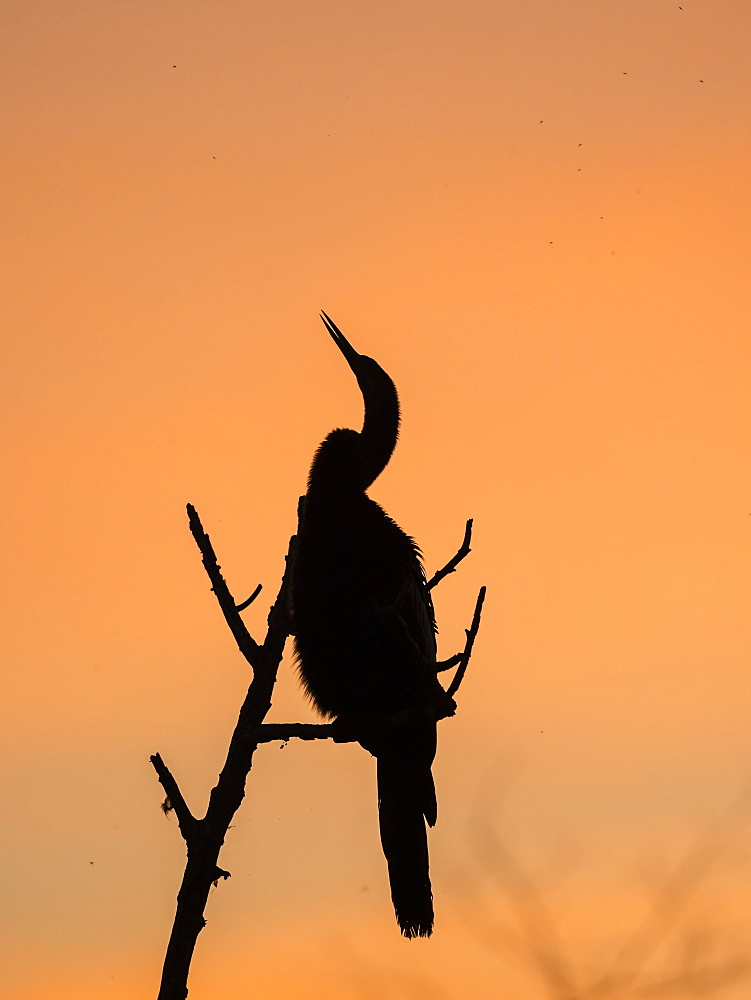 Adult anhinga, Anhinga anhinga, at sunset in Shark Valley, Everglades National Park, Florida, U.S.A.