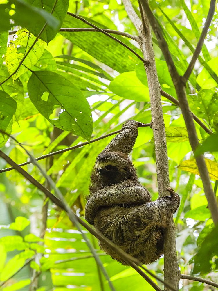 Adult brown-throated sloth, Bradypus variegatus, Yanayacu Lake, Río Pacaya, Amazon Basin, Loreto, Peru.