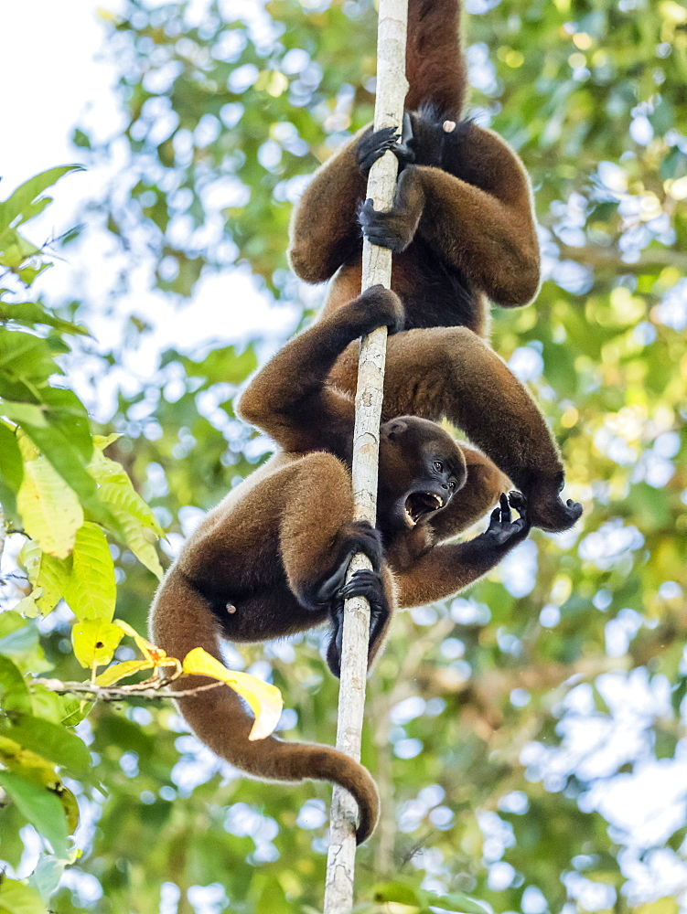 A pair of common woolly monkeys (Lagothrix lagothricha), mock fighting on the Yarapa River, Nauta, Peru, South America