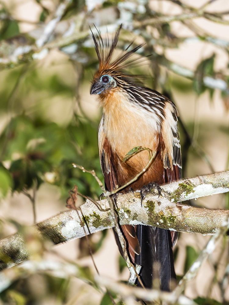 An adult hoatzin (Opisthocomus hoazin), Rio El Dorado, Amazon Basin, Loreto, Peru, South America