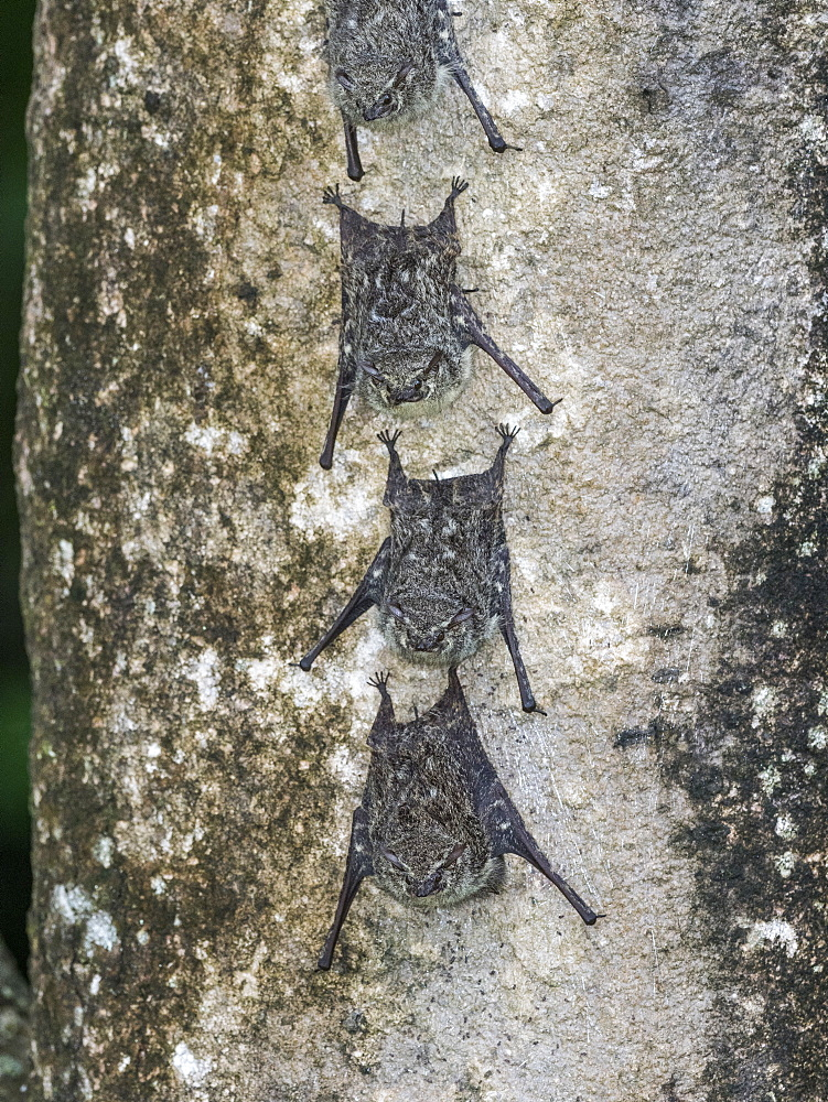 Adult proboscis bats, Rhynchonycteris naso, resting during the day on the Yanayacu River, Loreto, Peru.