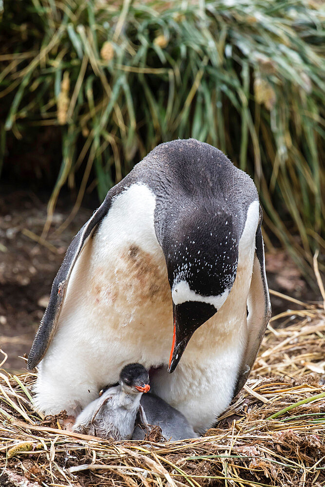 Adult gentoo penguin, Pygoscelis papua, on nest with chicks at Gold Harbor, South Georgia Island.