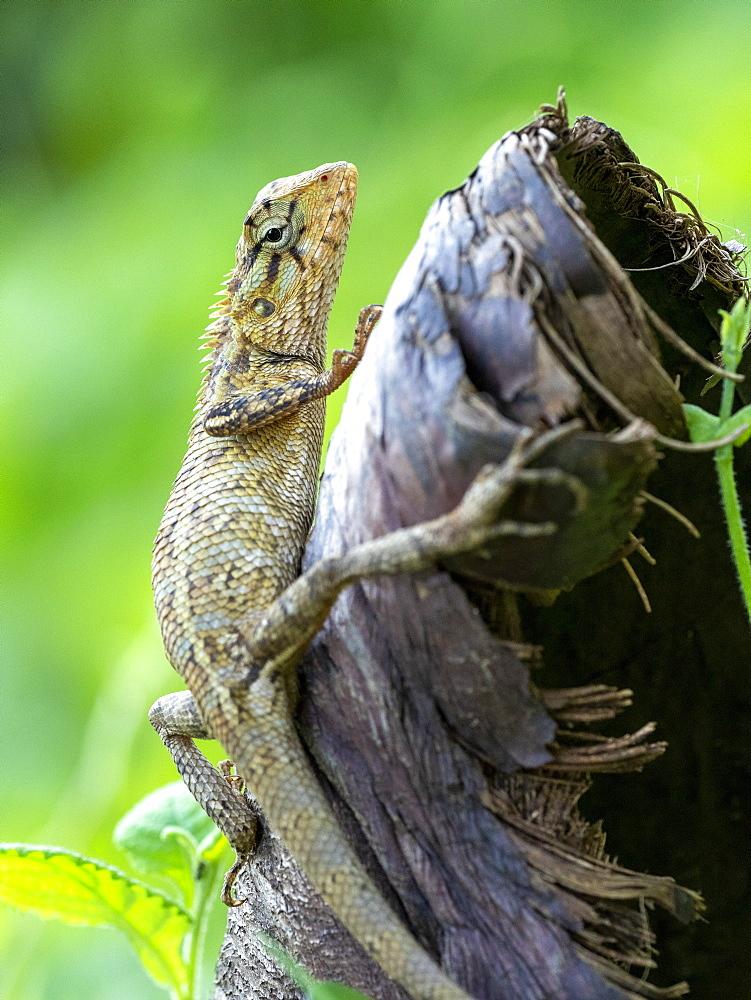 An adult Eastern garden lizard (Calotes versicolor versicolor), in the Kalpitiya Peninsula, Sri Lanka, Asia