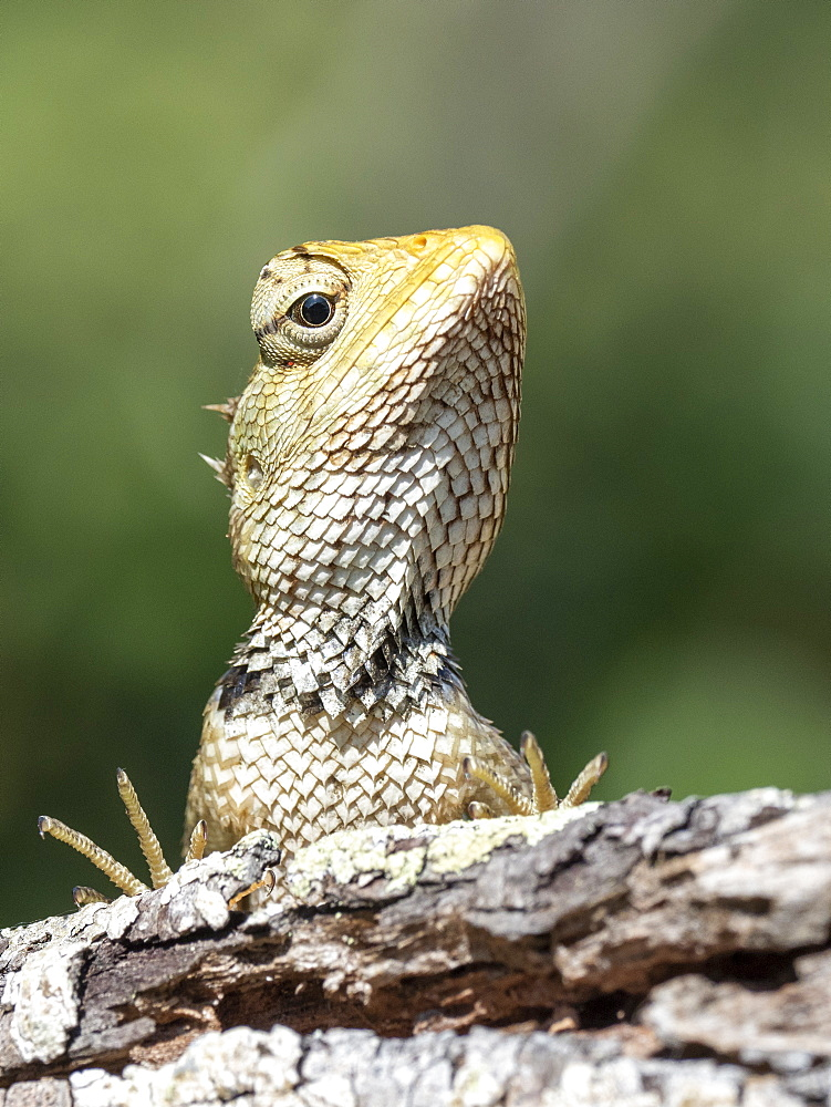 An adult Eastern garden lizard (Calotes versicolor versicolor), Wilpattu National Park, Sri Lanka, Asia