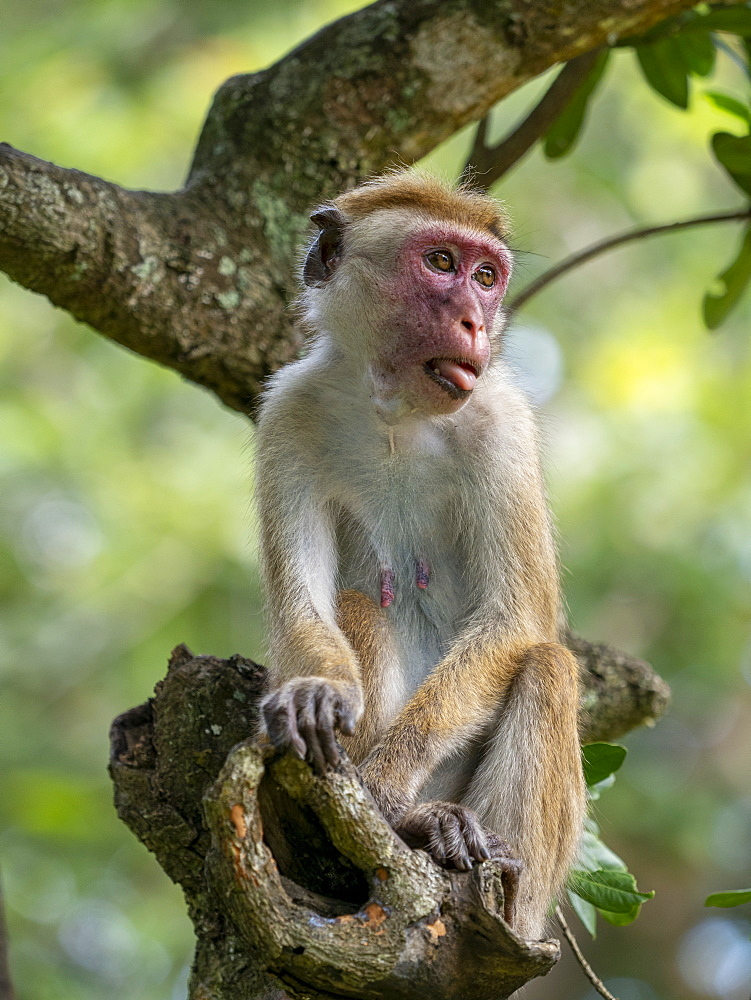 An adult Toque macaque (Macaca sinica), Yala National Park, Sri Lanka, Asia