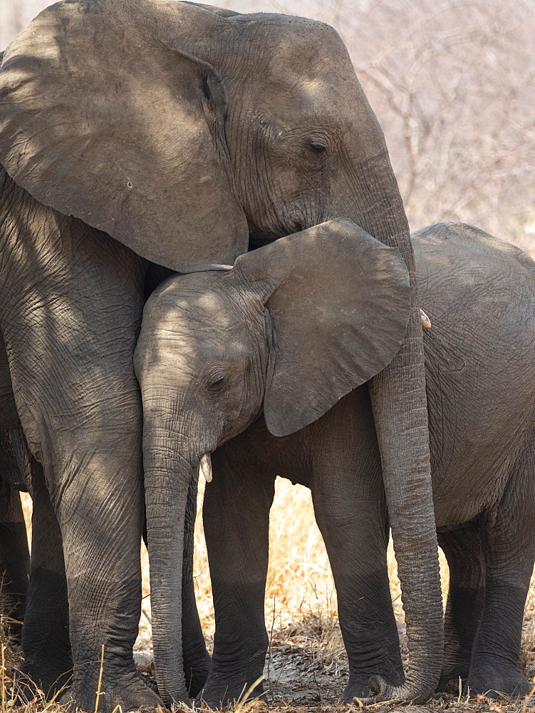 African bush elephant mother and calf (Loxodonta africana) in Hwange National Park, Zimbabwe, Africa