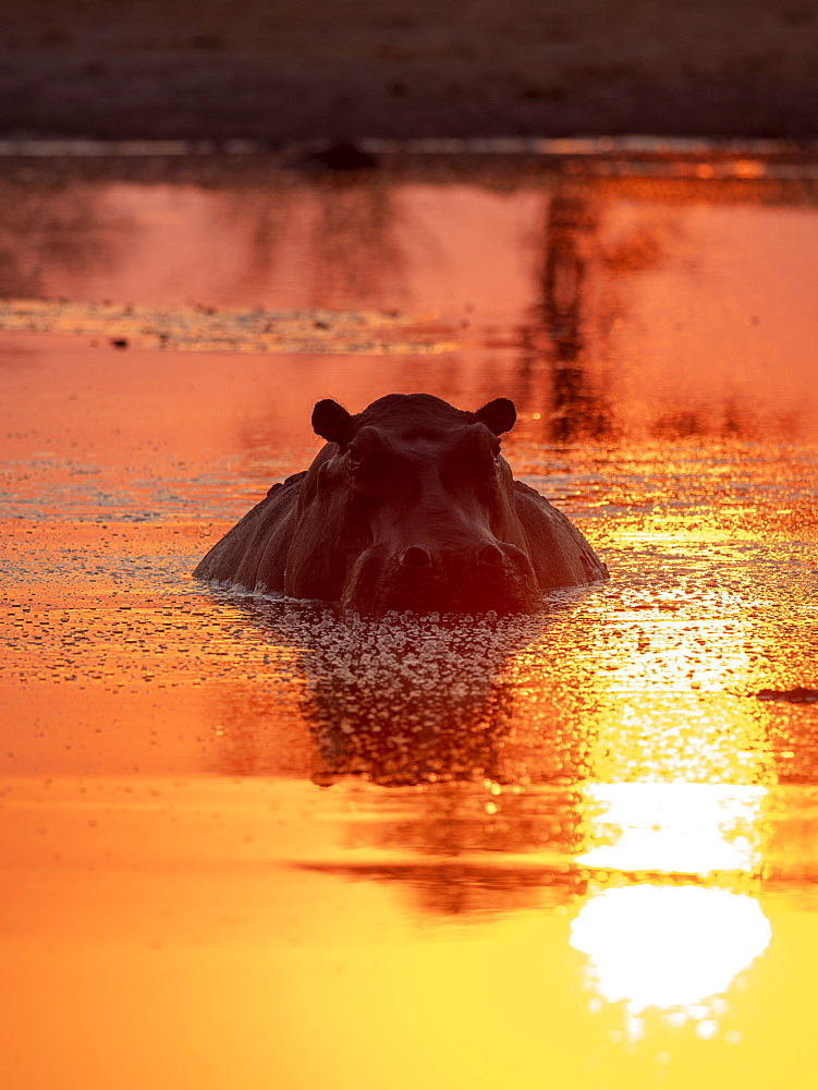 Adult hippopotamus, hippopotamus amphibius, bathing at sunset in Lake Kariba, Zimbabwe.