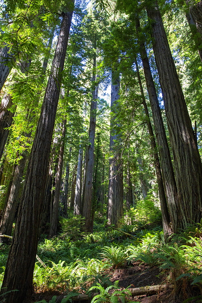 Giant redwood trees on the Trillium Trail, Redwood National and State Parks, California, USA.