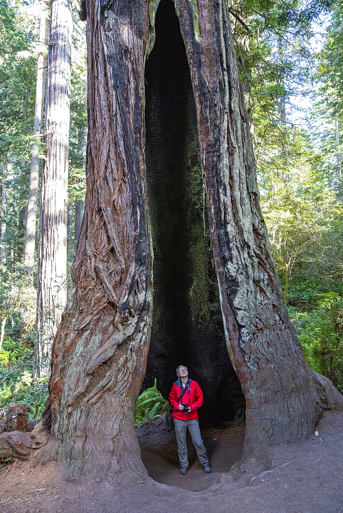 Hiker amongst giant redwood trees on the Trillium Trail, Redwood National and State Parks, California, USA.