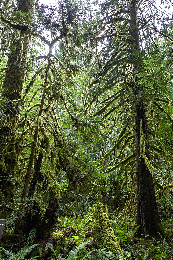 Lichen-covered trees on the Marymere Falls Trail, Quinault Rain Forest, Olympic National Park, Washington, USA. - 1112-5089