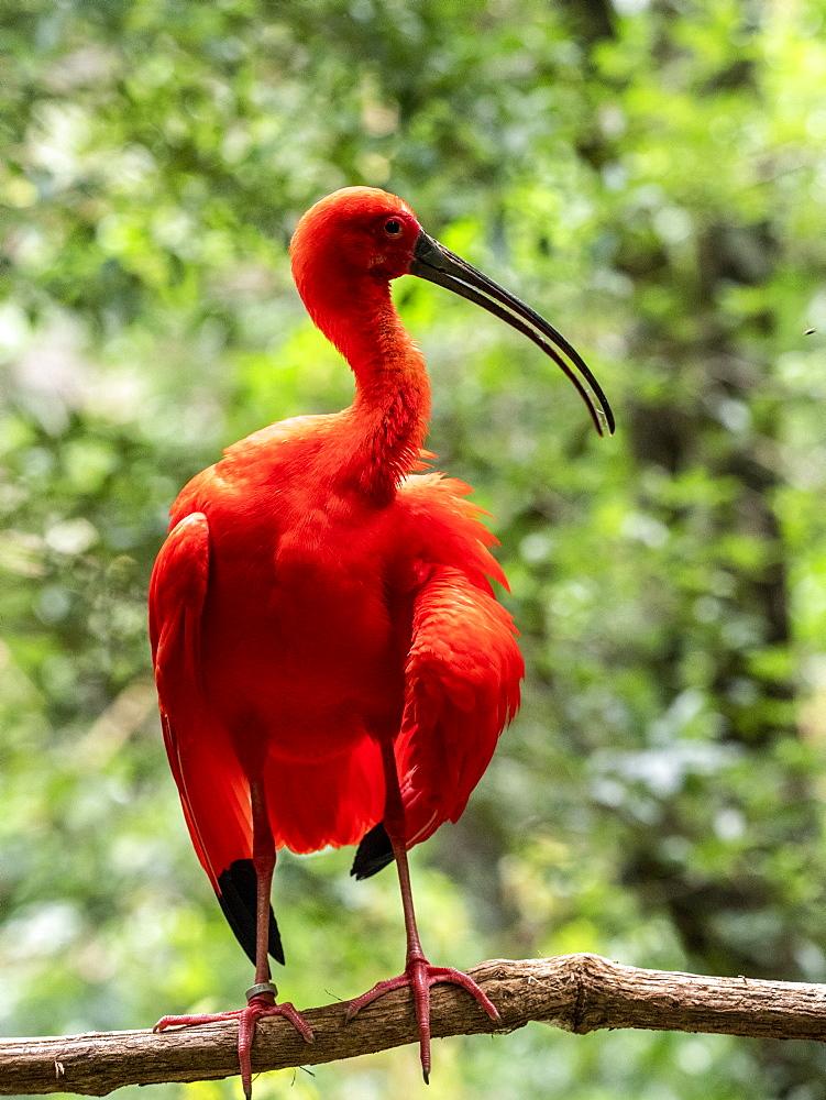 Captive scarlet ibis, Eudocimus ruber, Parque das Aves, Foz do Iguav?u, Paranv? State, Brazil.