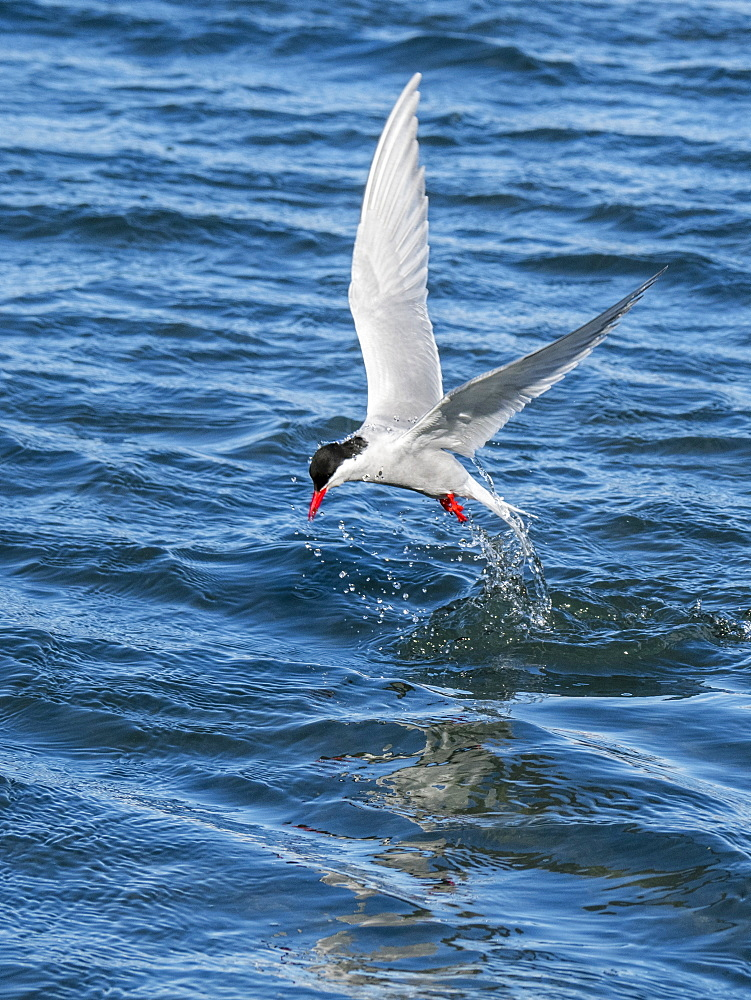 Adult Antarctic tern, Sterna vittata, plunge diving for food in Grytviken, South Georgia.