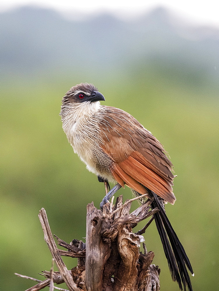 An adult white-browed coucal (Centropus superciliosus), Tarangire National Park, Tanzania, East Africa, Africa