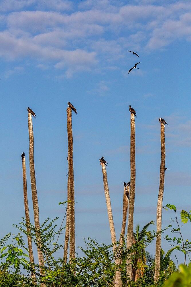 Magnificent frigatebirds (Fregata magnificens), perched on palm trees, Isla Iguana Wildlife Refuge, Panama, Central America - 1112-5869