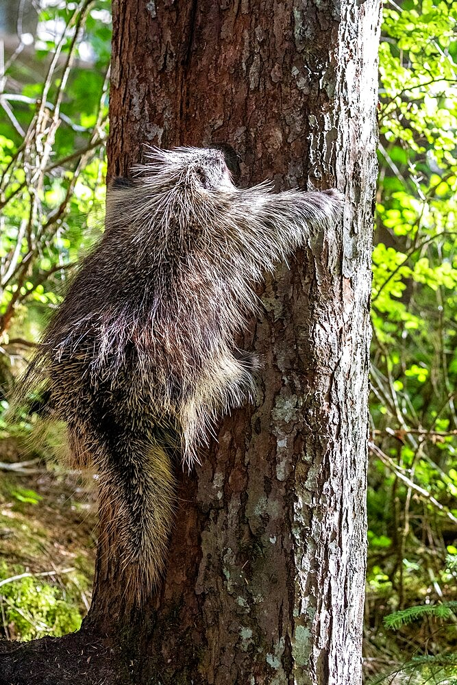 Adult North American porcupine (Erethizon dorsatum), climbing a tree, Glacier Bay National Park, Alaska, United States of America, North America - 1112-5904