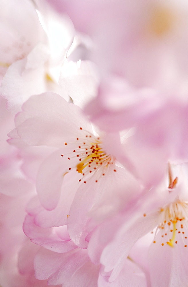 Flowering cherry, Prunus Accolade, Deutschland, Germany, Europe - 1113-104437