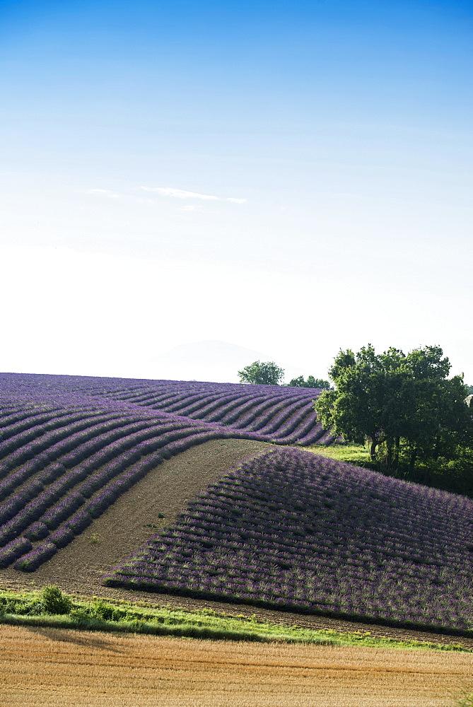 lavender field, near Valensole, Plateau de Valensole, Alpes-de-Haute-Provence department, Provence, France - 1113-104524