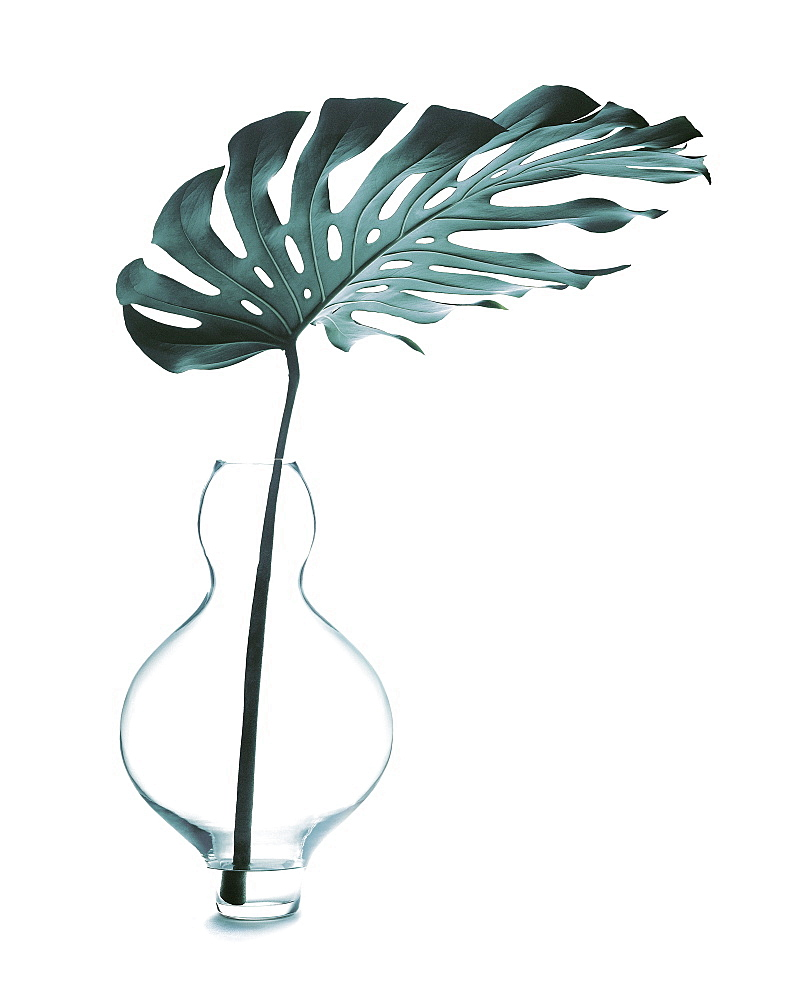 Philodendron leaf in a vase, Plant - 1113-104709