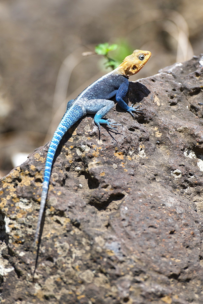 Colourful male Kenyan Rock Agama (Agama lionotis) basking on rock at KIA Lodge near Kilimanjaro International Airport, Arusha, Tanzania