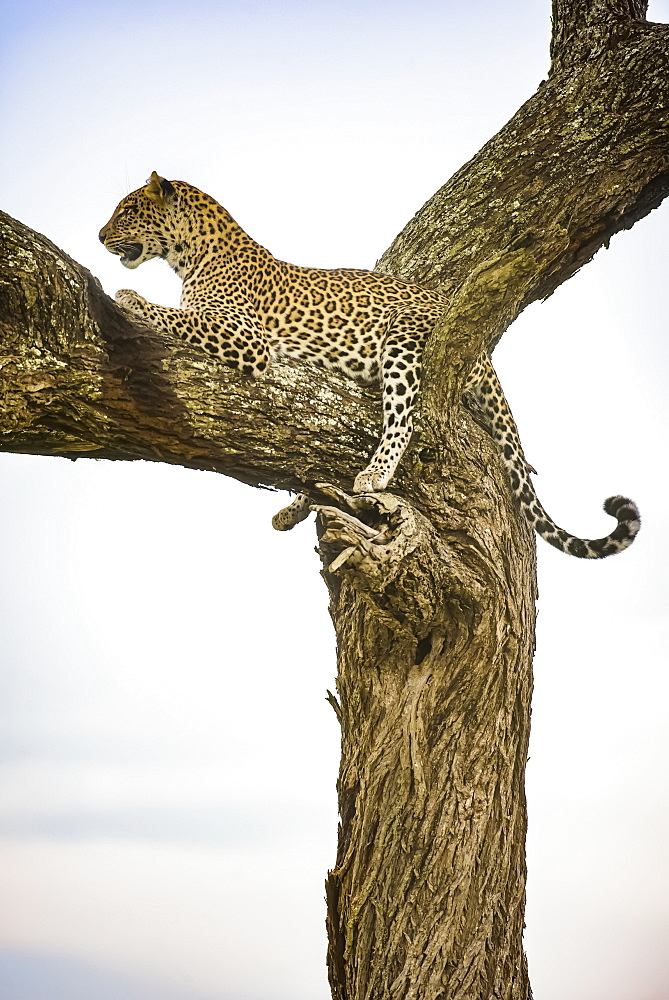 Leopard (Panthera pardus) resting in tree in the Ndutu area of the Ngorongoro Crater Conservation Area on the Serengeti Plains, Tanzania