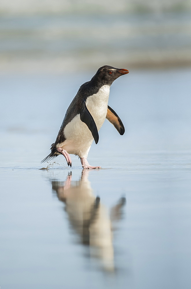 Gentoo penguin (Pygoscelis papua) walking on a wet surface with it's reflection in the water, Saunders Island, Falkland Islands