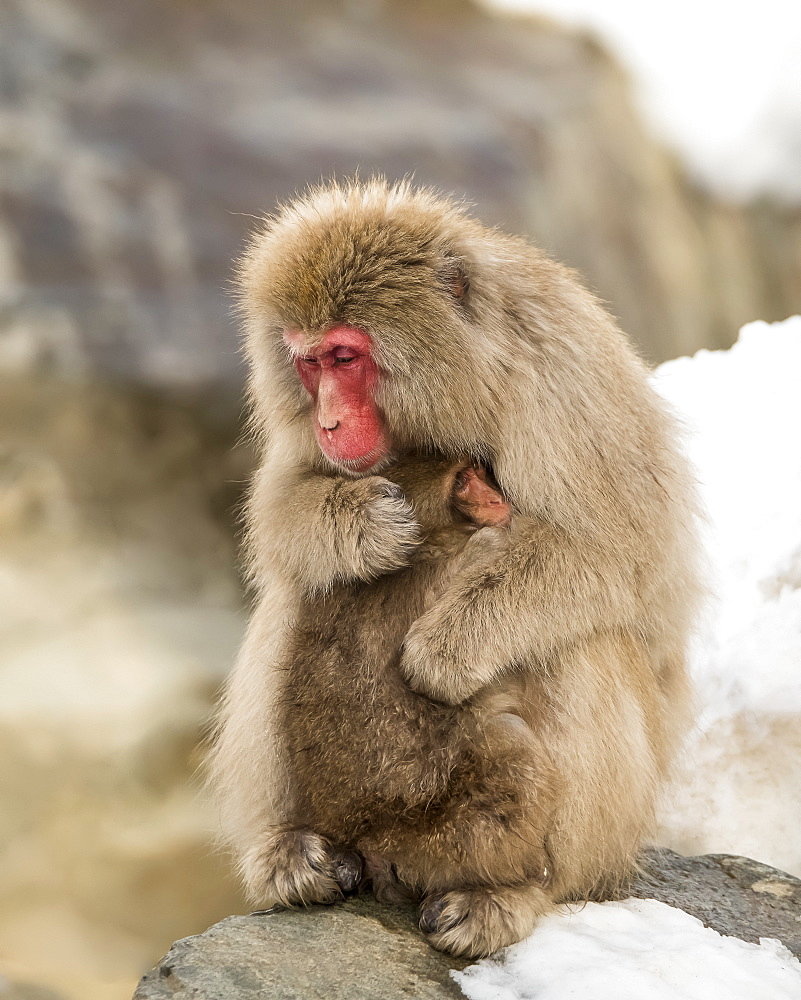 Snow Monkey (Macaca fuscata), also known as Japanese Macaque, holding it's baby in a loving embrace to help it keep warm, Nagano, Japan