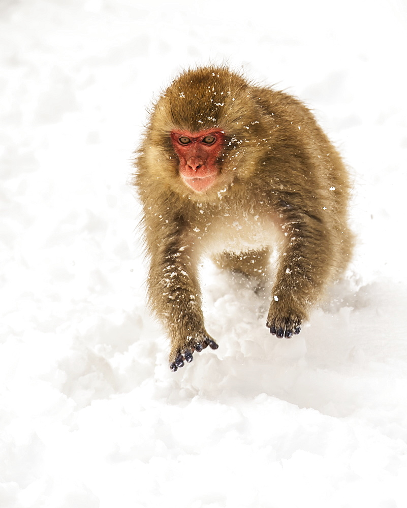 Japanese macaque, also known as Snow Monkey, (Macaca fuscata) playing in the snow, Jigokudani, Yamanouchi, Nagano, Japan
