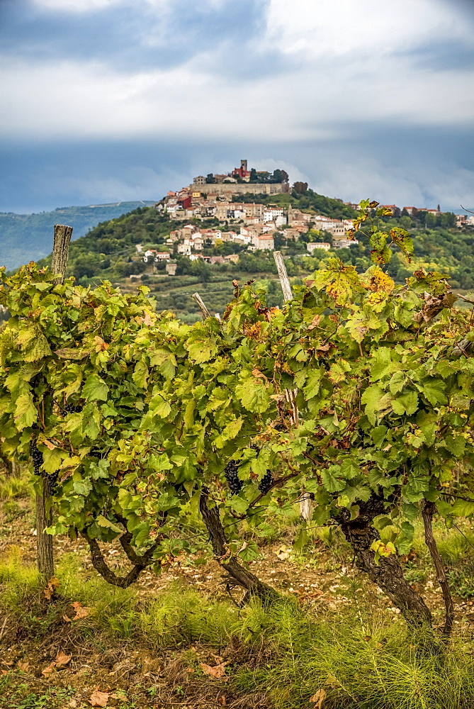 Vineyards surrounding the hilltop medieval town of Motovun, Motovun, Istria, Croatia