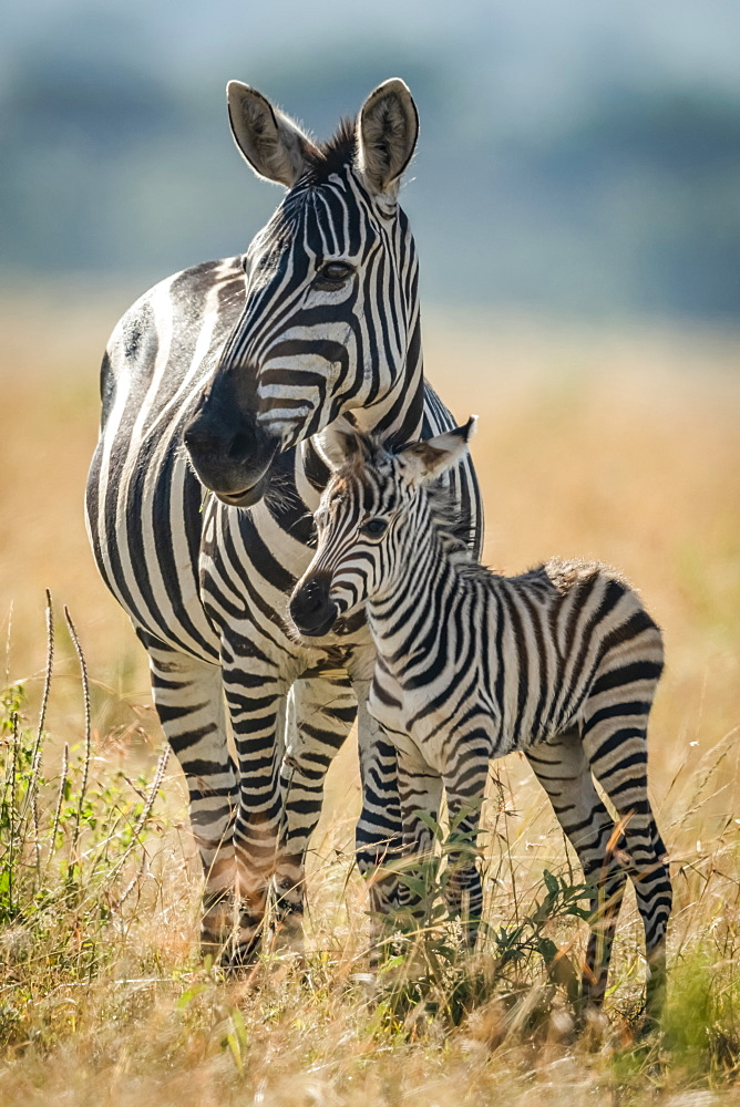 Plains zebra (Equus quagga) stands eyeing camera with foal, Serengeti National Park, Tanzania