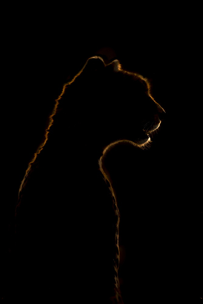 Close-up of golden cheetah (Acinonyx jubatus) silhouette in darkness, Serengeti National Park, Tanzania
