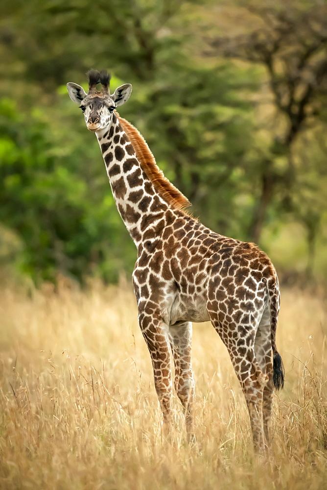 Young Masai giraffe (Giraffa camelopardalis tippelskirchii) stands in long grass by trees, Serengeti National Park, Tanzania
