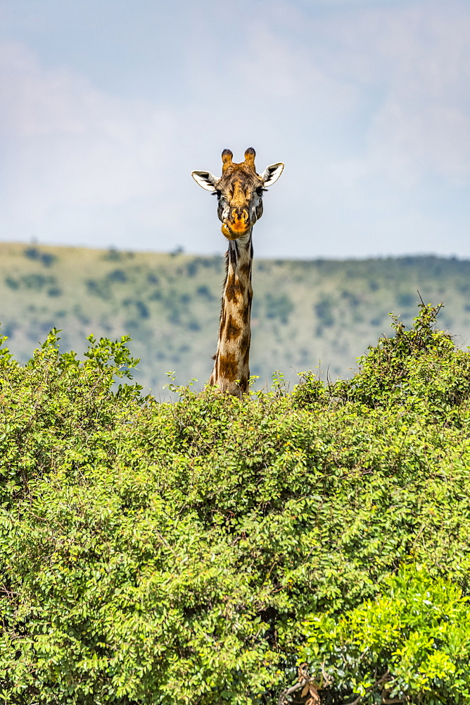 Masai giraffe (Giraffa camelopardalis tippelskirchii) peeks over bushes in savannah, Serengeti National Park, Tanzania
