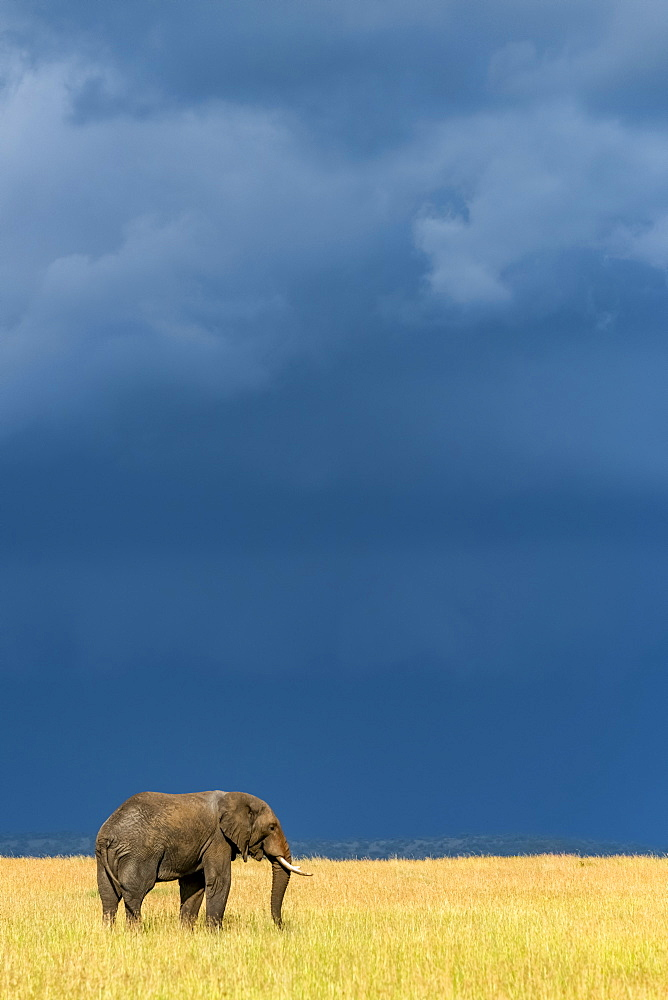 African bush elephant (Loxodonta africana) stands in grass beneath dark clouds, Serengeti National Park, Tanzania