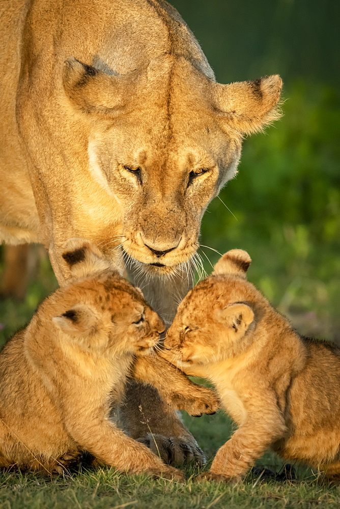 Close-up of lion cubs (Panthera leo) playing near mother, Serengeti National Park, Tanzania