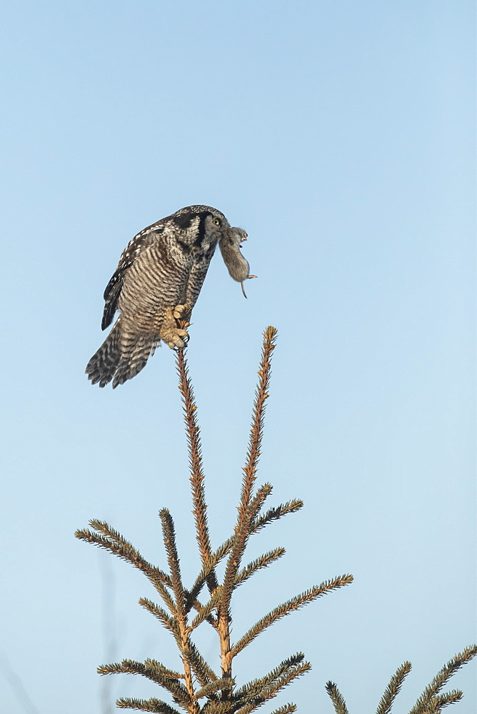 Northern Hawk Owl (Surnia ulula), known for sitting on the highest perch possible while looking for prey such as voles moving below. This one sits on the top of a tree against a blue sky with a rodent in it's mouth, Alaska, United States of America