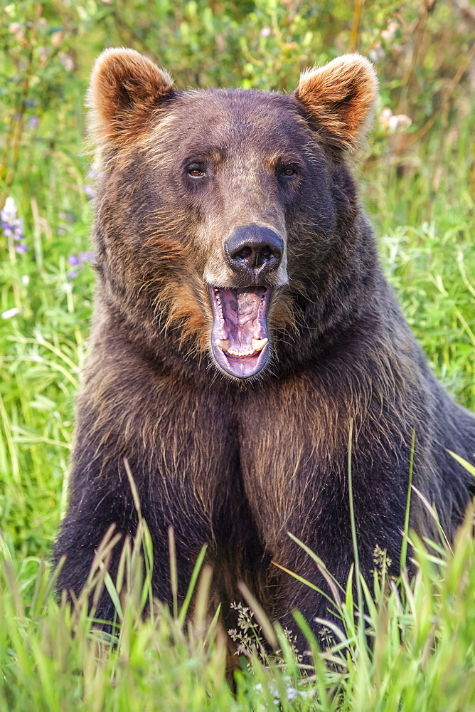 Female Brown bear (Ursus arctos) looking at camera with mouth open, captive in Alaska Wildlife Conservation Center, South-central Alaska, Portage, Alaska, United States of America