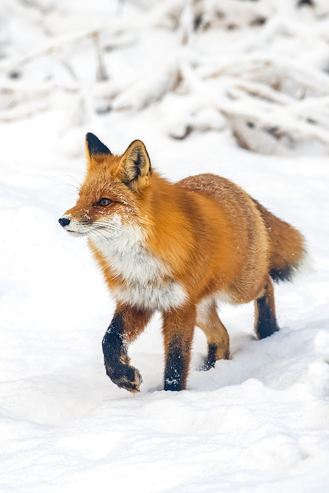 Red fox (Vulpes vulpes) walking in snow in Campbell Creek area, South-central Alaska, Alaska, United States of America