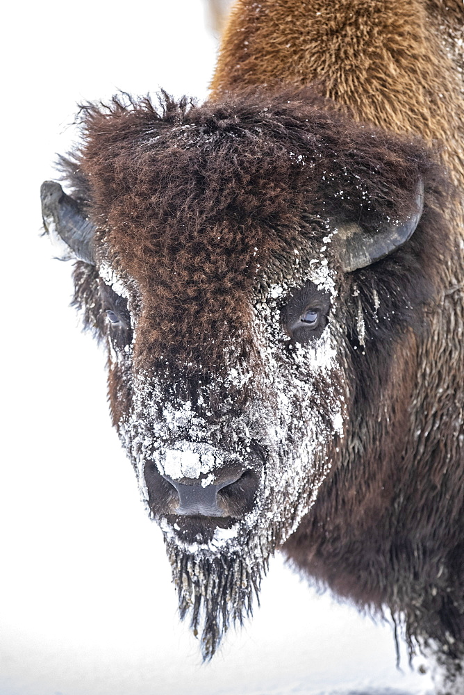A large Wood bison bull (Bison bison athabascae) in snow, captive in Alaska Wildlife Conservation Center, Portage, Alaska, United States of America