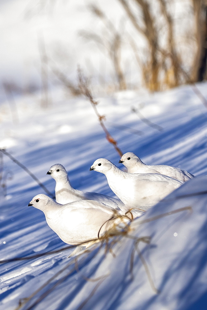 Willow Ptarmigans (Lagopus lagopus) standing in snow with white winter plumage in Arctic Valley, South-central Alaska, Alaska, United States of America