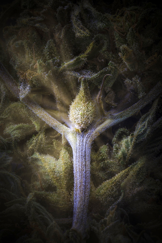 Extreme close-up of a cured cannabis seed pod, branch and flower with visible trichomes and rays of enlightenment emminating from it, Marina, California, United States of America