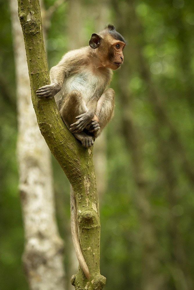 Long-tailed macaque (Macaca fascicularis) sits looking out from tree, Can Gio, Ho Chi Minh, Vietnam - 1116-47812