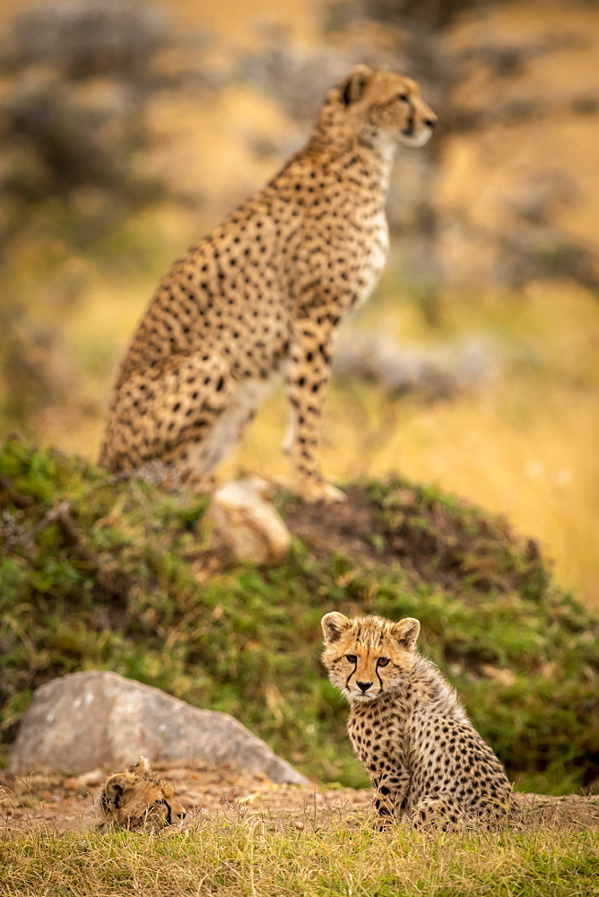 Cheetah (Acinonyx jubatus) cubs sitting with mother in background, Maasai Mara National Reserve, Kenya
