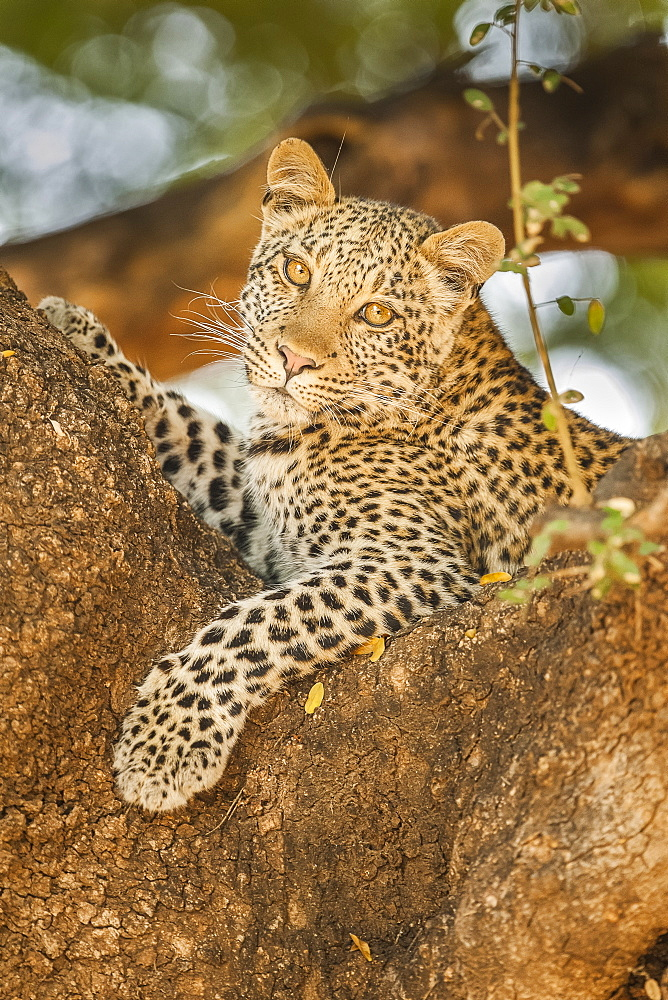 Leopard (Panthera pardus) in a tree, Mashatu Game Reserve, Botswana