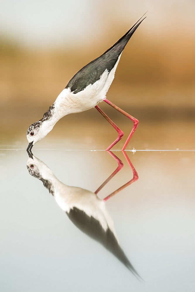 Black-necked stilt (Himantopus mexicanus) with reflection in water, Bences Hide, Pusztaszer, Hungary