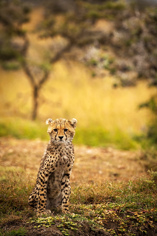 Cheetah cub (Acinonyx jubatus) sitting on bank facing camera, Maasai Mara National Reserve, Kenya