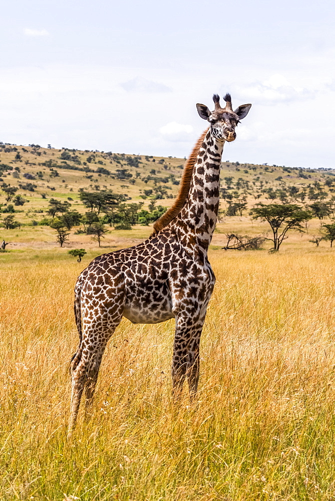 Young Masai giraffe (Giraffa camelopardalis tippelskirchii) standing on savannah facing camera, Maasai Mara National Reserve, Kenya