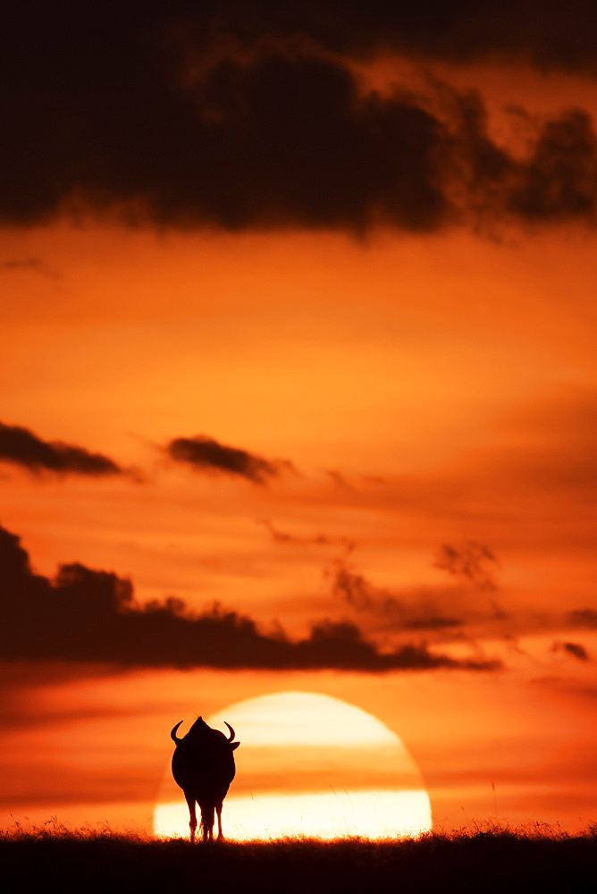 A blue wildebeest (Connochaetes taurinus) is silhouetted against the setting sun on the horizon. It has curved horns and is walking towards the sunset. Shot with a Nikon D850 in the Maasai Mara National Reserve in Kenya in July 2018, Kenya