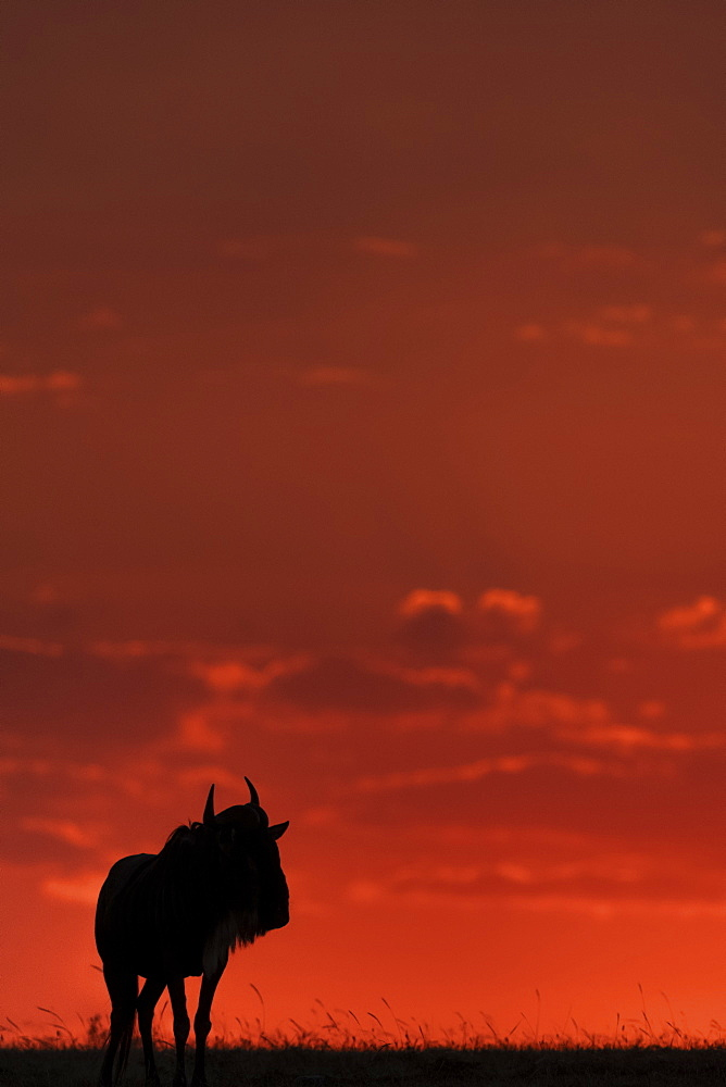 A blue wildebeest (Connochaetes taurinus) on the horizon is silhouetted against an orange sky at sunset. It's horns are visible in outline, and it's standing with it's head turned, Maasai Mara National Reserve, Kenya