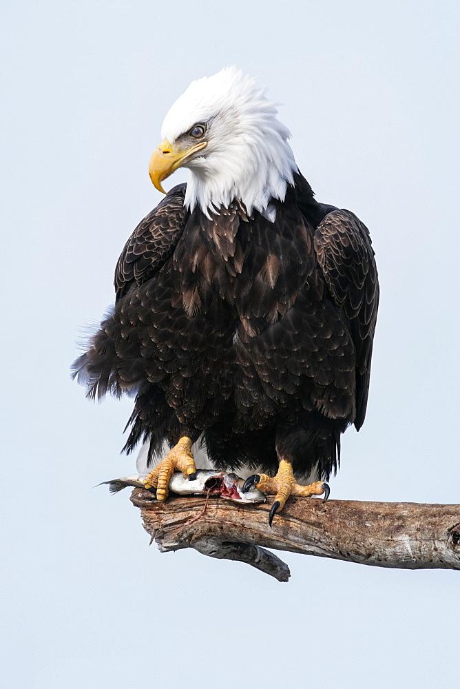Adult Bald eagle (Haliaeetus leucocephalus) perched on a branch, Alaska, United States of America